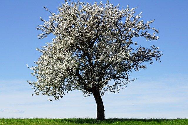 vzrostlá kvetoucí jabloň